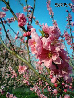 桃の花です